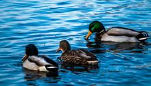 Three Ducks Swimming In Lake O...