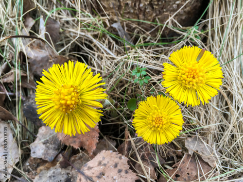 Vászonkép Three flowering yellow coltsfoot among old brown fall leaves and dry grass in the forest in early spring