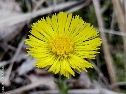Fototapeta Magic spring yellow flower - coltsfoot