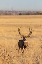 Mule Deer Buck In Colorado During The Rut In Autumn