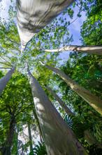 Eucalyptus Tress Of Hawaii