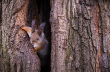 Curious Squirrel Peeks Out Of ...