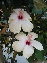 Two White Hibiscus Flowers On ...
