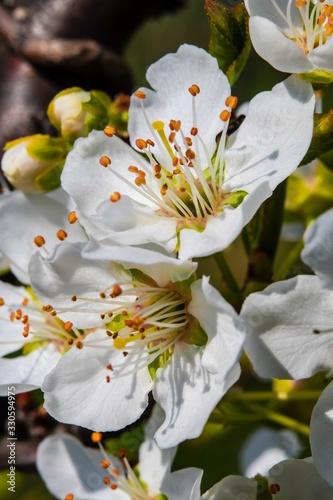 Albero da frutto in fiore Canvas Print
