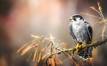 Peregrine Falcon On Branch. Bi...