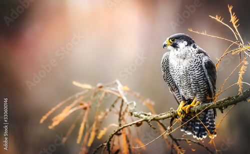 Peregrine falcon on branch. Bird of prey falconry male portrait, Falco peregrinus