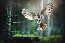 Barn Owl In Flight Before Atta...