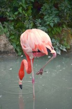 Vertical Shot Of A Flamingo Lo...