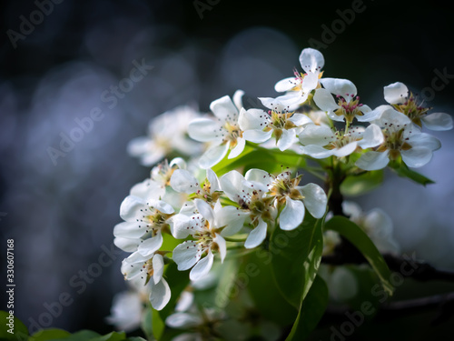 Photo Beautiful apple cherry tree in bloom