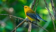Prothonotary Warbler  (Protono...