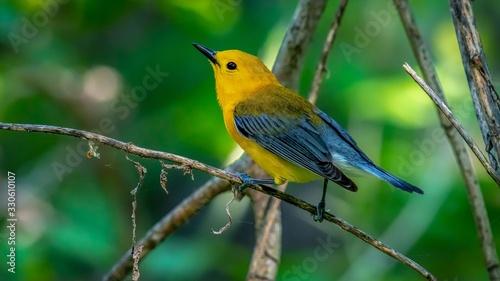 Canvas Print Prothonotary Warbler  (Protonotaria citrea