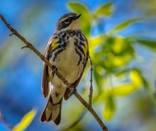 Yellow-rumped Warbler  (Setoph...