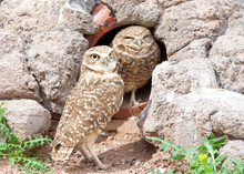 Two Burrowing Owls Nesting In ...