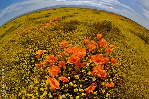 Fisheye Panorama of Windblown Poppies  in a carpet of yellow goldfields Billede på lærred