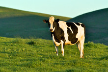 Holstein Cow On Rolling Green ...