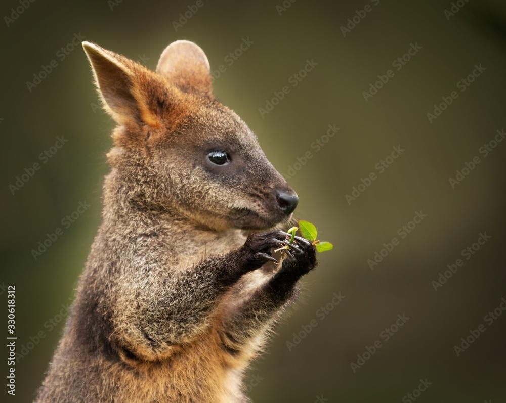 Fototapeta Closeup shot of a cute baby wallaby holding a green leaf