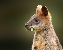 Closeup Shot Of A Baby Wallaby...