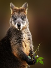 Vertical Shot Of A Wallaby Eat...