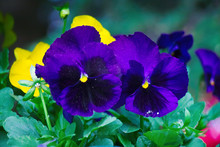 Beautiful Purple Pansy Flowers Close-up