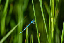 Dragonfly On Blade Of Grass