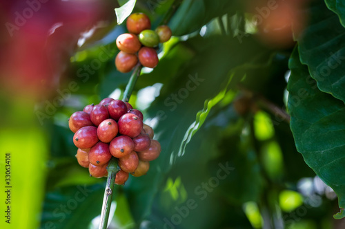 Closeup of robusta coffee beans ripening fruit on tree in farm and plantations in Thailand Wallpaper Mural