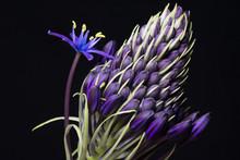 Macro Purple Flower On Black Background
