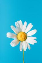 Fresh White Daisy With Dew Dro...