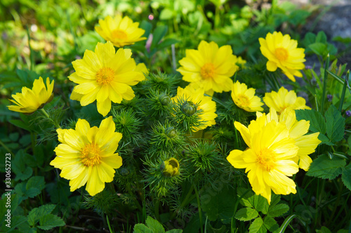 Adonis vernalis or spring pheasant's eye green plant with yellow flowers Canvas Print