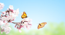 Sakura Flowers And Two Monarch...