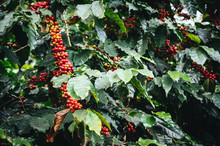 Coffee Tree With Fresh Arabica Coffee Bean In Coffee Plantation On The Mountain At Ban Pang Khon The Northern Of Chiang Rai, Thailand.