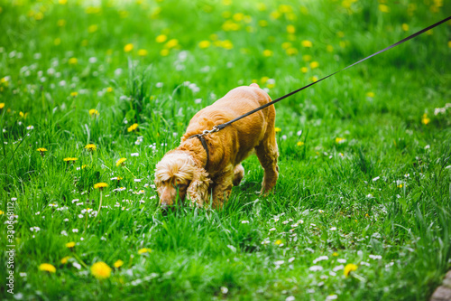 Photo view of brown cocker spaniel dog walking in green grass