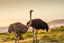 Ostrich Walk For Living On Field At Seaside : Cape Of Good Hope , South Africa