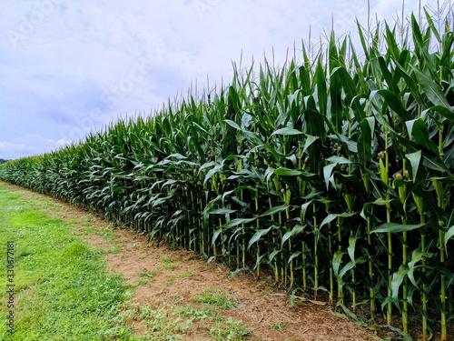 Fényképezés One row of a farm fresh corn field.