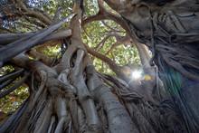Ficus Macrophilla Tree Located...