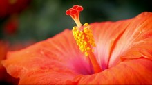 Close Up Of A Hibiscus Rosa-si...