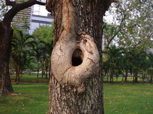 Close Up. The Hole On The Tree...