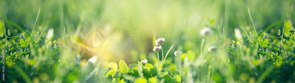 Fototapeta Flowering clover in meadow, spring grass and clover flower lit by sunlight in spring