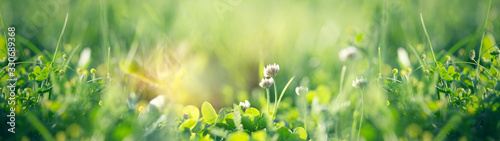 Obraz Flowering clover in meadow, spring grass and clover flower lit by sunlight in spring - fototapety do salonu