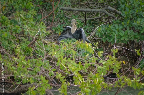 Beautiful shot of an anhinga perched on a tree with its wings wide open along Fl Canvas Print