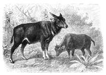 Anoa Depressicornis/ Antique Illustration From Brockhaus Konversations-Lexikon 1908