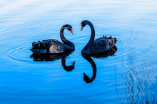 A Pair Of Black Swans Moored I...