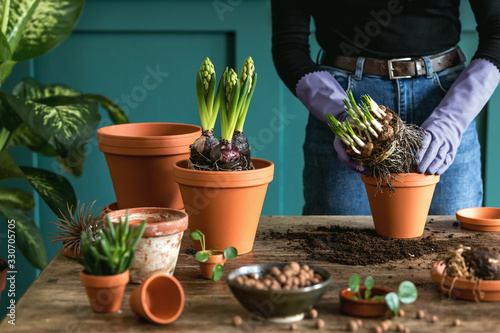 Leinwand Poster Woman gardener is transplanting beautiful plants, cacti, succulents to ceramic pots and taking care of home flowers on the retro wooden table for her concept of home garden