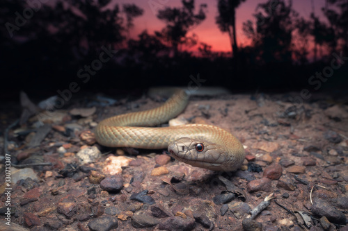 Fototapeta Wild Pygmy mulga snake (Pseudechis weigeli) on grit road at dusk in northern Aus