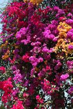 Blossoming Bougainvillea Spect...