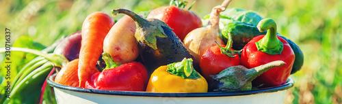 Fototapeta Harvest in the garden. Organic vegetables. Selective focus. obraz