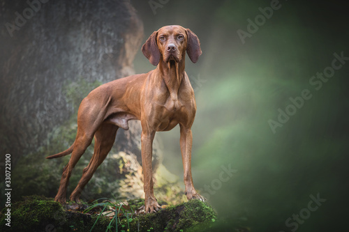 Leinwand Poster Portrait of a hungarian vizsla in the forest