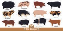 Farming Today Set Of Twelve Breeds Of Domestic Pigs Flat Vector Illustrations Isolated Objects Cattle Breeding And Stock Raising