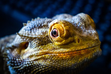 Bearded Dragon Looking Out Of His Terrarium, Yellow And Green Coloured Beardy Lizard, Adult Male Smiling Bearded Dragon Also Known As Pogona