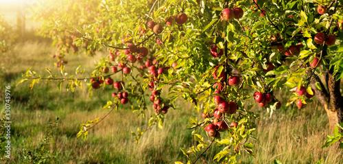 Fotomural Apple trees on an organic fruit farm