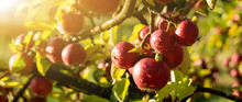 Apple Trees On An Organic Frui...